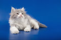Kitten scottish straight breed on blue Stock Images