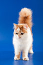 Kitten scottish straight breed on blue Royalty Free Stock Photos