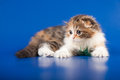 Kitten scottish straight breed on blue Stock Photo