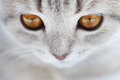 Kitten Scottish Straight. close-up Royalty Free Stock Photos
