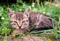 Kitten sitting in the grass very severe and serious tabby looks like a lynx with big ears Royalty Free Stock Photography