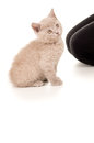 Kitten sitting and looking up british Stock Images