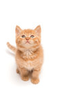 Kitten sitting on the studio floor looking up front view of red at blank copy space Stock Image