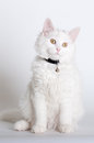 Kitten sitting on white backdrop Stock Images