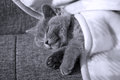 Kitten sleeping british shorthair on the coach covered with a blanket Stock Image