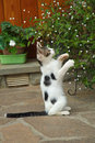 Kitten on two paws playing Royalty Free Stock Photo