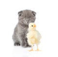 Kitten watching baby chicken. isolated on white background Royalty Free Stock Photo