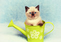 Kitten in watering can Royalty Free Stock Photo