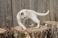 Kitten white dancing on stumps Royalty Free Stock Photos