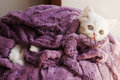Kitten wrapped in blanket adorable white persian under Royalty Free Stock Photography