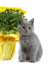 Kitten and yellow flowers Stock Images
