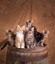 Kittens on a barrel bunch of baby maine coon grouped together top of an old shot in studion light brown backdrop Stock Photo
