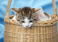 Kittens in basket Royalty Free Stock Photography