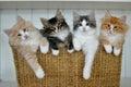 Kittens in a basket norwegian forest cat Stock Photo