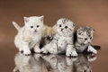 Kittens group of four fluffy beautiful kitten breed scottish fold on brown background Stock Images