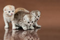 Kittens group of three fluffy beautiful kitten breed scottish fold on brown background Royalty Free Stock Images