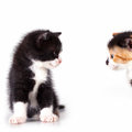 Kittens are observed two baby cat curious look Stock Photos