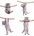 Kittens with rope four small striped scottish tabby breed animasl hanging on a isolated on white background Royalty Free Stock Photo