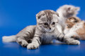 Kittens scottish fold breed on blue Royalty Free Stock Images