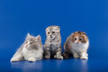 Kittens scottish fold breed on blue Royalty Free Stock Photo