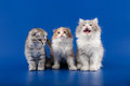 Kittens scottish fold breed on blue Stock Photography