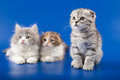 Kittens scottish fold breed kitten on blue Stock Images