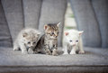 Kittens three shorthair cat on bed Stock Image