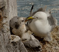 Kittiwake feeding her chick Stock Images