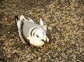 Kittiwake in hole in the road on a windy day Royalty Free Stock Photo