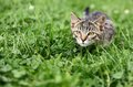 Kitty curious lurking in grass Royalty Free Stock Photo