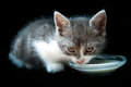 Kitty drinking milk Royalty Free Stock Images