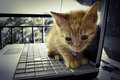 Kitty and laptop brown on keyboard Stock Image