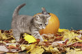 Kitty walks away from pumpkin. Royalty Free Stock Image