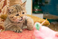 Kitty a wonderful kitten plaing with his doll Royalty Free Stock Photo