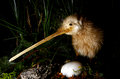 Kiwi bird and an egg Royalty Free Stock Photo