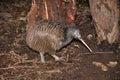 Kiwi in bush Royalty Free Stock Photo