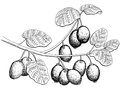 Kiwi fruit graphic branch black white isolated sketch illustration