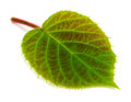 Kiwi leaf,  isolated on white background Royalty Free Stock Photo