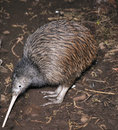 Kiwi searching Royalty Free Stock Photo