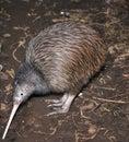Kiwi searching Royalty Free Stock Photo