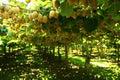 Kiwi tree Stock Photo