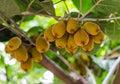Kiwi Tree Royalty Free Stock Photo