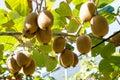 Kiwifruit Growing In A Garden