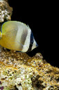 Klein s butterflyfish sunburst blacklip orange bluehead Stock Image