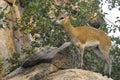 Klipspringer oreotragus oreotragus in kruger national park south africa Royalty Free Stock Photos