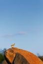 Klipspringer standing erected on a boulder Royalty Free Stock Photo