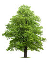 Klonowy drzewo Obrazy Stock