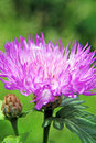 Knapweed purple cornflower in sultry summer haze Stock Photos