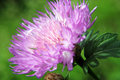 Knapweed purple cornflower in sultry summer haze Royalty Free Stock Photo