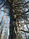 Knarly tree Royalty Free Stock Photo